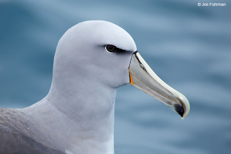 Salvin's AlbatrossKaikoura, New Zealand Dec. 2014
