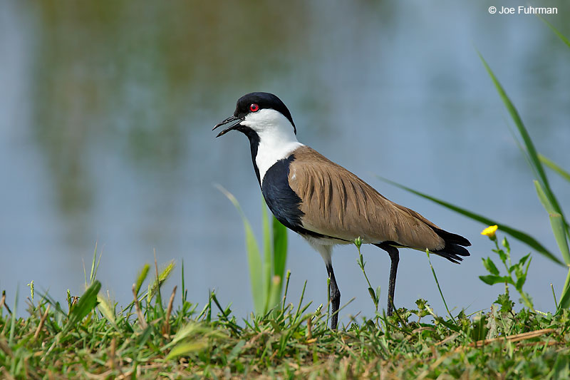 Spur-winged Lapwing (Vanellus spinosus)Hula Valley, Israel   April 2016