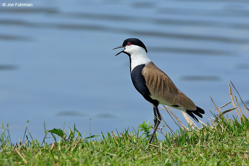 Spur-winged Lapwing (Vanellus spinosus) Hula Valley, Israel   April 2016