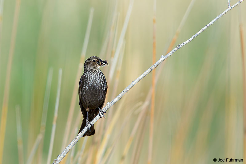 Tricolored Blackbird-femaleL.A. Co., CA   May 2016