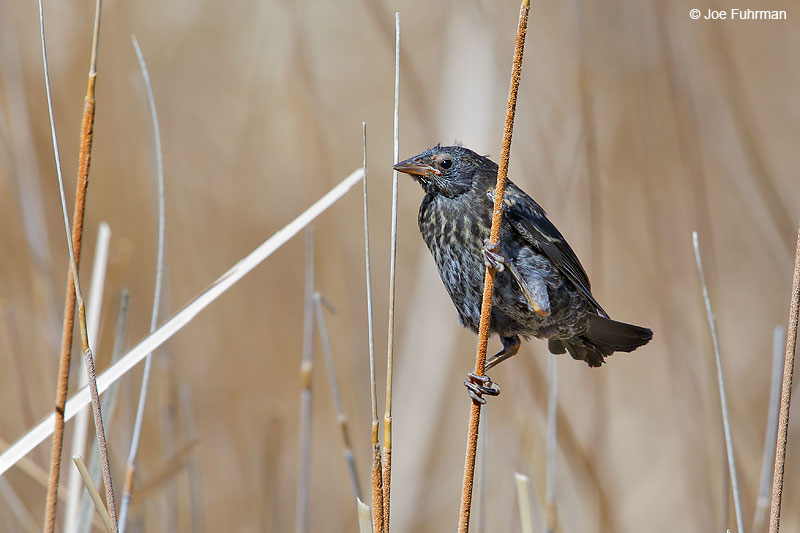 Tricolored Blackbird-juvenileL.A. Co., CA   May 2016