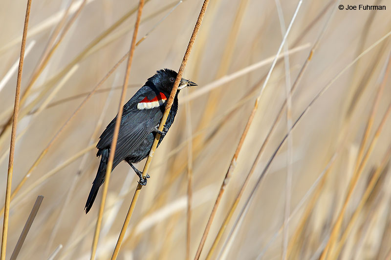 Tricolored Blackbird-male breedingL.A. Co., CA   April 2016