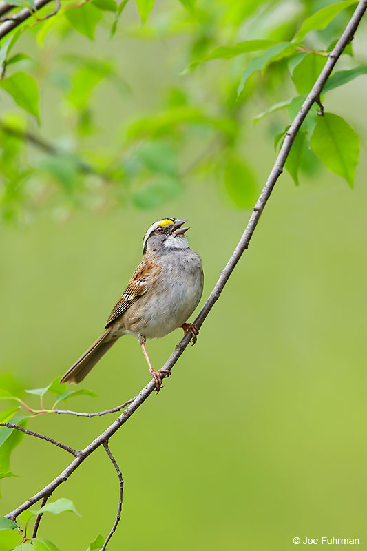 White-throated Sparrow Lackawanna Co., PA   May 2016