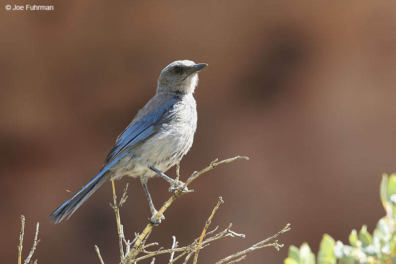 Western Scrub JayClark Co., NV   May 2014