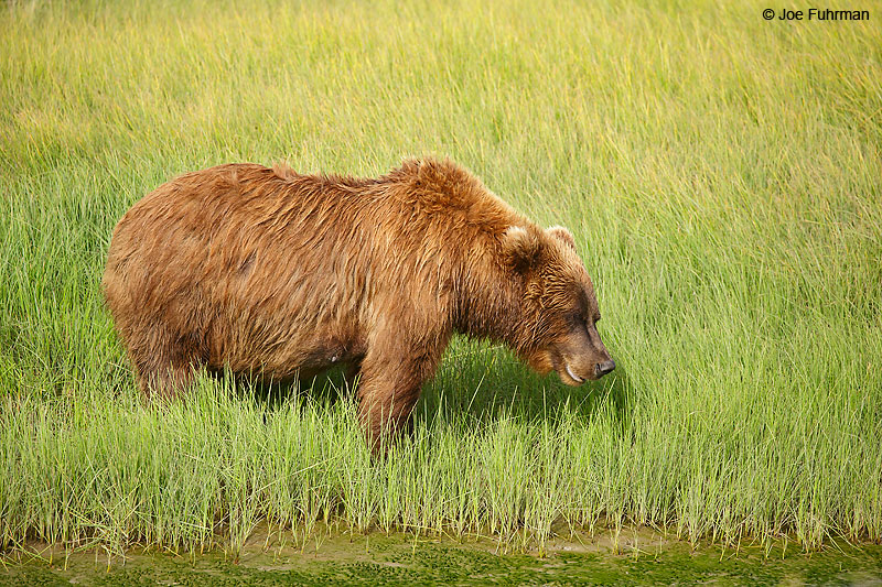 Brown BearLake Clark National Park, AK August 2016