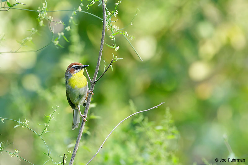 Rufous-capped Warbler Nuevo Leon, Mexico Sept. 2016