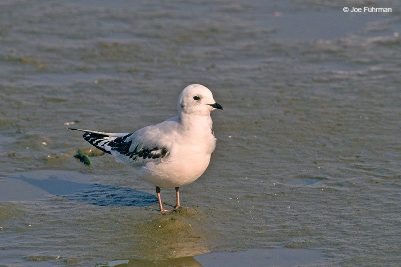 Ross's Gull Honshu, Japan January 2000