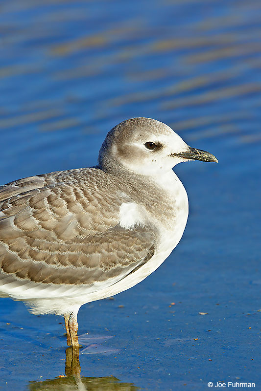Sabine's Gull winter plumageBallona Creek-L.A. Co., CA October 2016