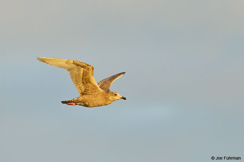 Thayer's Gull Barrow, AK    October 2016