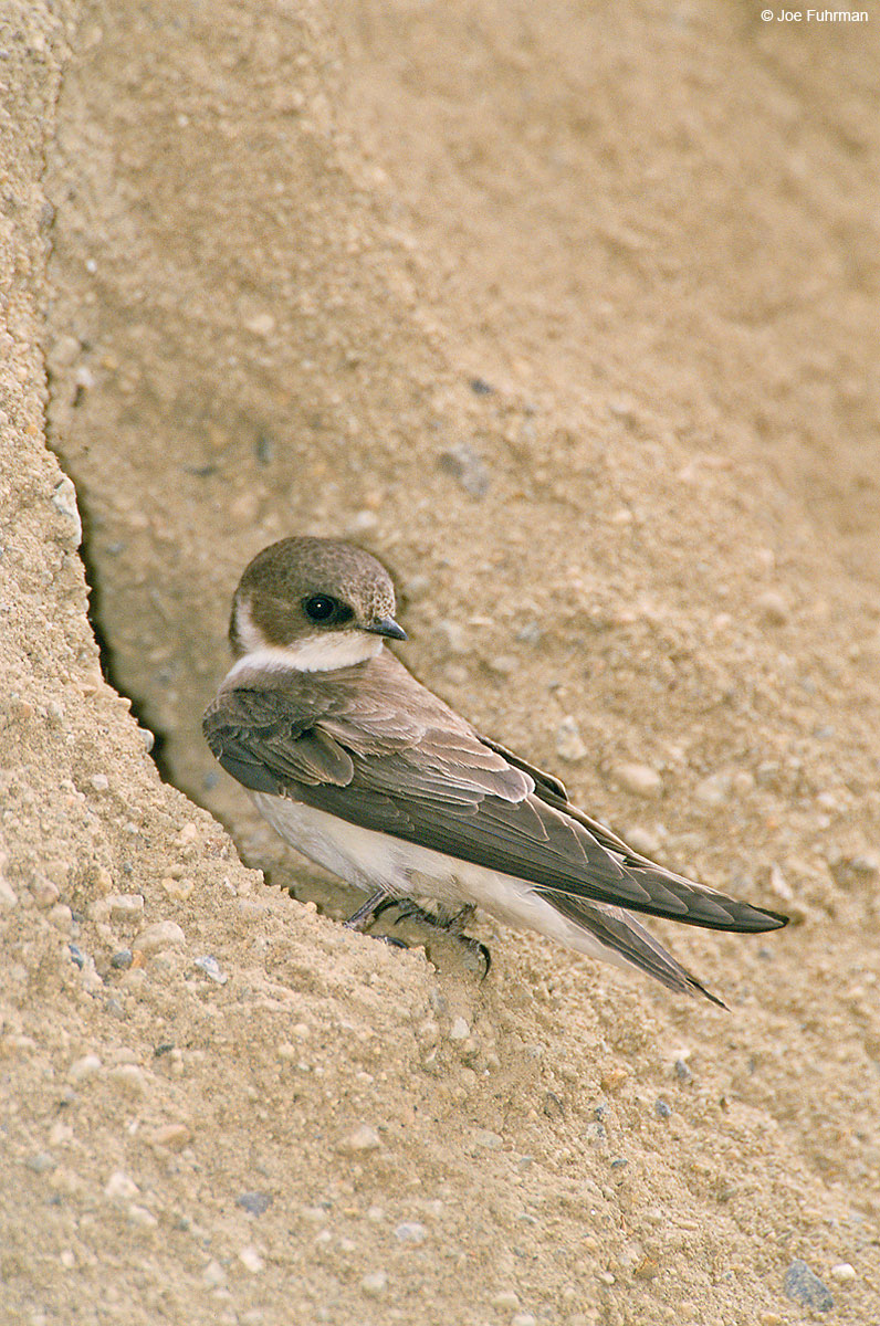 Bank Swallow Inyo Co., CA