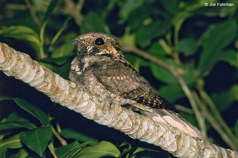Yucatan Nightjar Chan Chich, Belize   December
